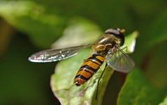 marmalade butt (conall..) Tags: episyrphus balteatus marmalade fly episyrphusbalteatus marmaladefly raynox dcr250 macro closeup carrigans dunmore walledgarden sun sunny donegal