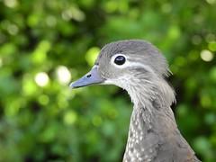 Mandarin duck (PhotoLoonie) Tags: duck mandarinduck nature wildlife animalportrait closeup