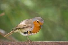 Robin - Erithacus Rubecula (Al Glenton - Norfolk images) Tags: erithacus rubecula robin bird birds rspb nature wildlife uk injured al glenton photography norfolk images broads