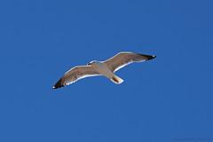 Goéland_7820 (lucbarre) Tags: goéland mouette mer ciel extérieur exterior sky bird birds sea spain san juan de los terreros