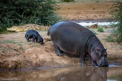 Abendstimmung am Fluss (NiffeneggerD) Tags: flusspferd erindigamereserve 2017 urlaub niffenegger afrika