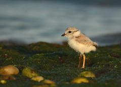 Piping Plover chick (jayrand1975) Tags: nikon shorebird tamron600mm birding nature chick pipingploverchick pipingplover birds bird