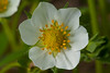 Stawberry blossom (Troy Johnstone) Tags: macro strawberries flower sigma105