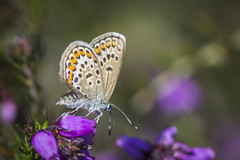 Silver-studded Blue Female (thegrolffalo) Tags: silverstuddedblue plebejusargus butterfly insect nature naturalhistory animal macro depthoffield nikond7200 105mm