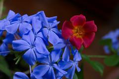 blue & red (M a r i S à) Tags: plumbago portulacaoleracea blue red blueandred flowers macro redandblue