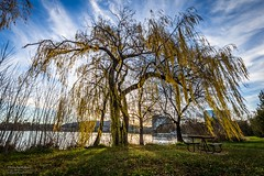 Behold the majesty (Rakuli) Tags: ifttt 500px park sky landscape nature sun light tree fall leaf season grass wood dawn flora panoramic outdoors environment willow scenic weeping canberra no person fair weather