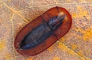 Cossyphus sp. (fam. Tenebrionidae)