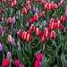 Pink and purple tulips in Keukenhof garden in Amsterdam