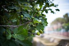 fig tree (paul.wienerroither) Tags: fig figs fruits tree plants nature natureshots croatia europe summer green greenisbeautiful leaves leaf photography canon 50mm 5dmk3 travel