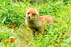 Male Japanese Red Fox, Koushiro of  Yokohama Zoological Gardens : ホンドギツネのコウシロウ (Dakiny) Tags: 2017 summer june japan kanagawa yokohama asahiward park city street outdoor zoo yokohamazoologicalgardens zoorasia creature animal mammal nikon d750 sigma apo 70200mm f28 ex hsm apo70200mmf28dexhsm sigmaapo70200mmf28dexhsm nikonclubit
