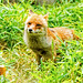 Male Japanese Red Fox, Koushiro of  Yokohama Zoological Gardens : ホンドギツネのコウシロウ