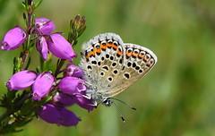 Silver-studded Blue (Plebejus argus). female (festoon1) Tags: silverstuddedblue plebejusargus butterfly preesheath