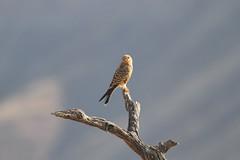 Greater Kestrel, Solitaire, Namibia October 2014 (Sterna999) Tags: falcorupicoloides greaterkestrel solitaire namibia südafrika desert wüste