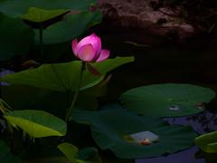 Lotus flower (sonica@2006) Tags: lotus flower very beautiful it was really impressive japan nagano suwa olympus epm2 platinumheartaward