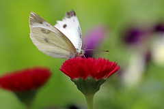 Cabbage Butterfly (Johnnie Shene Photography(Thanks, 2Million+ Views)) Tags: cabbagebutterfly butterfly commonbutterfly whitebutterfly nature natural wild wildlife animal insect bug interesting awe wonder birding lepidoptera livingorganism tranquility adjustment perching resting macro closeup magnified photography horizontal outdoor colourimage fragility freshness nopeople foregroundfocus depthoffield bokeh standing frontview feeding fulllength korea asia feeler lighteffect day daylight behaviour motion still stationary wings limbs sharpness vivid pose posing canon eos80d 80d tamron 90mm f28 11 lens 배추흰나비 흰나비 나비 곤충 접사 매크로