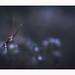 Hello ! (Futoigokiburi) Tags: canon ef100mmf28macrousm empuse eos60d insect macro futoigokiburi naturallight