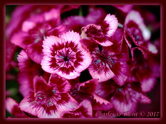 Dianthus barbatus (ctofcsco) Tags: 1500 180mm 5d 5dclassic 5dmark1 5dmarki aperturepriorityae blooms canon colorado dianthusbarbatus didnotfire digital ef180mmf35lmacrousm eos eos5d esplora bokeh coloradosprings explore geo:lat=3893083779 geo:lon=10489145279 geotagged gleneyrie nature northamerica telephoto wildlife explored f35 flashoff flower iso500 partial photo pic pink pretty red renown unitedstates usa white