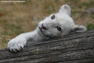White lion cub - Olmense Zoo