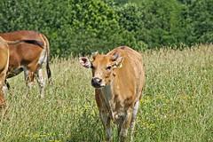 _IMG1406 (Shot by Kevin Lester) Tags: animals pentax sigma safari visitthewilds thewilds banteng