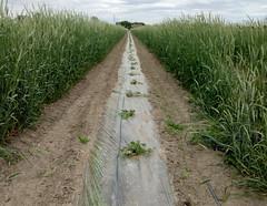 Seedless watermellon rows (msuanrc) Tags: watermellon rows watermellowrows seedless windbreak seeded rye corridor flowering benphillips