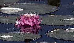 Pretty In Pink - 042617-134846 (Glenn Anderson.) Tags: water lily pad pond lake reflection flower spring yellow floater nature outdoor plant blossom serene droplet