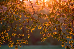 An evening glow (jillyspoon) Tags: leaves tree glow evening light branches spring canon sunshine warmth harrogate canon70d nature countryside countryfile northyorkshire field