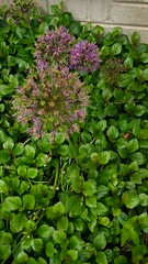 Alliums, May 23, 2017 (artistmac) Tags: chicago il illinois city urban street flowers purple allium tennisball spring springbulb