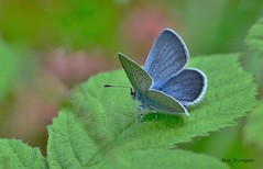 Small Blue - Bedfordshire (Alan Woodgate) Tags: blue
