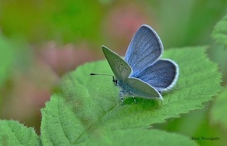 Small Blue - Bedfordshire