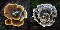 two turkey tails and two snails (marianna_a.) Tags: mushroom fungi forest macro mariannaarmata diptych two snail turkey tail polypore