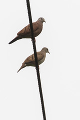Ruddy Ground-Doves (J.B. Churchill) Tags: birds costarica dovespigeons heredia laselvaotsreserve places rugd taxonomy cr laselva