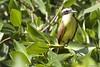 Social flycatcher on branch (carcour) Tags: birds caribbean mexico seaweed socialflycatcher tyrannidae yucatan