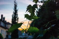 17-06-15 sonauf weinblatt silh dsc08674 (u ki11 ulrich kracke) Tags: silhouette sonnenaufgang weinblatt