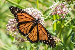 Monarch (Danaus plexippus) (Jose Matutina) Tags: butterfly california irvine nature orangecounty sanjoaquin sanjoaquinwildlifesanctuary wildlife monarch danaus plexippus