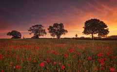 Poppies at Dawn (Captain Nikon) Tags: sunrise dawn poppies poppy summer silhouettes moodyatmospheric leicestershire nikond7000 sigma1020mmf4 srbgraduated06neutraldensityfilter