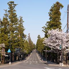 Zenrin-gai - Cedar street - 2 (gemapozo) Tags: sakura hirosakicity pentax cherry street aomori ceder 645z zenringai japan blossom 弘前市 青森県 日本 hdpentaxdfa645macro90mmf28edawsr 禅林街 杉並木 さくら