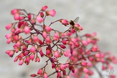 """Désespoir-du-peintre = Désespoir-du-photographe (Brigitte .. . """"Tatie Clic"""") Tags: 2017030335 juin printemps fleur fleurdujardin désespoirdupeintre insecte flou bokeh fleurrose"""
