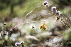 Natur...oder die andere Seite des Schmetterlinglebens (Pe Wi) Tags: spinne schmetterling spinnennetz tod kampf natur outdoor trentino petzvalobjektiv kringelbokeh nahlinse