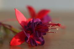 Pollen season (AngharadW) Tags: dof petals petal angharadw purple pink stamen fuschia macro pollen macrofuschia flower