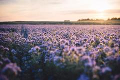 Dancy tansy (sue.konvalinkova) Tags: tansy field spring summer sunset nature beauty backlight magicalhour goldenhour beautyeveryday landscape bokeh nikon d750