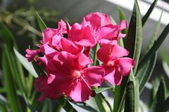 Oleander (Dr Clontz) Tags: flowers nerium oleander blooms