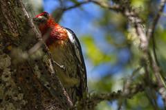 Red-breasted Sapsucker (lamoustique) Tags: redbreastedsapsucker sphyrapicusruber picàpoitrinerouge salmoncreek vancouver washington