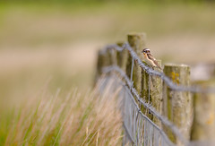 On the Fence (Peter Quinn1) Tags: whinchat fence fenceline bigmoor easternmoorspartnershiprspbnational rspb onthefence nationaltrust moorland moorlandbird