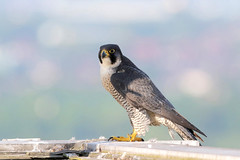 Peregrine falcon, female (Manchester) 9P1A2183 a (Adrian Dancy) Tags: nature wildlife wildbird raptor birdofprey bird falcon peregrine peregrinefalcon falcoperegrinus urbanperegrine urbanperegrines urbanperegrinefalcon urbanbirds persecuted persecution manchester fastestbird fastest