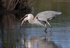 Down the hatch (Cameron Darnell) Tags: heron great blue wader birds birding bird avian 2017 florida fl mangroves catfish eating consume wading ardea cameron canon 7d ii
