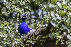 Up On The Roof (Charliebubbles) Tags: canoneos60d tamron90mmmacro warrington waltonhallgardens photoshopcc 2017 nature wildlife peacock