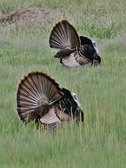 Two Male Wild Turkeys Displaying, North Meadow (Bill Bunn) Tags: wildturkeys falmouth maine