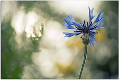 Et l'essentiel et le ciel... (Nanouch@) Tags: nature naturaleza natur macro macrounlimited fleur flor flores flower flowers backlight dreamy dream bokeh dof proxy jardin garden bleu blue azul reflets reflection plants