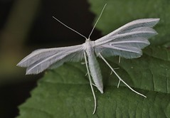 White Plume Moth      (Pterophorus pentadactyla) (nick.linda) Tags: staveley whiteplumemoth pterophoruspentadactyla micromoth moths insects valerian bindweed yorkshirewildlifetrust ukwildlifetrusts canon600deos sigma105mmmacro wildandfree