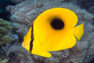 Oval-spot Butterflyfish - Chaetodon speculum